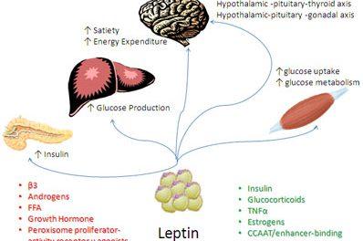 Leptine: waarom speelt het zo'n belangrijke rol tijdens het afvallen?